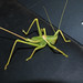 Tettigoniidae>Chlorobalius? Predatory Katydid Female DSCF4598