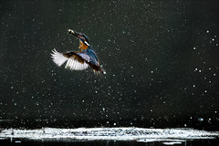 Lift off! (Phil Selby) Tags: fish diving kingfisher worcestershire waterdroplets