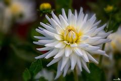 Flower power 'My Love' (BraCom (Bram)) Tags: bracom dahlia mylove cactusbloemig cactusflower flower bloem white yellow wit geel dof depthoffield petals bloemblaadjes bud knop summer zomer herkingen goereeoverflakkee zuidholland nederland southholland netherlands holland canoneos5dmkiii canon canonef300mmf40 bramvanbroekhoven nl