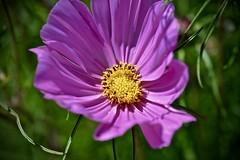 Cosmos - Geneva Community Garden - Geneva IL (Meridith112) Tags: cosmos purple purpleflower flower flowers yellow pink pinkflowers macro bokeh nikon nikon105 nikond610 summer august 2016