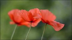 Three Musketeers. (gewoon-marieke) Tags: dof bokeh holland 50mm nikon nature garden poppys poppies red threeofakind