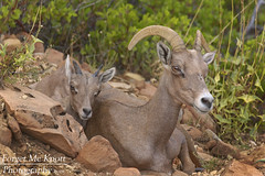 Bighorn Sheep - Mother & Youngster (Forget Me Knott Photography) Tags: brianknott fmkphoto forgetmeknottphotography ram sheep bighorn bighornsheep zion nationalpark utah zionnationalpark canyon plateau sandstone desert wildlife animal baby juvenile ewe orange red