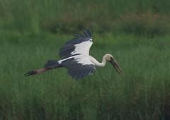 Asian Openbill Stork (sreejithkallethu) Tags: asianopenbill stork nature kandachira birdsofkerala kollam kerala
