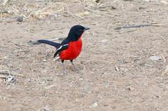 Rotbauchwürger (Stefan Giese) Tags: namibia afrika africa tier animal bird vogel rot schwarz red black rotbauchwürger okaukejo panasonic fz1000