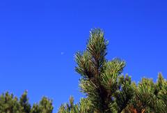 Bergkiefer (rubrafoto) Tags: sommer hss hinterstoder obersterreich skigebiet gebirge totesgebirge kiefer bergkiefer legfhren latschen ste natur landschaft sommerlandschaft tourismus alpinesgelnde wandern wandergebiet ooe