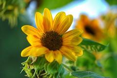 Sunflower (JPShen) Tags: sunflower yellow bright sunny bokeh