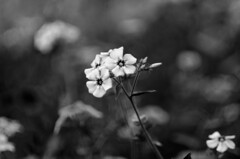 (Kals Pics) Tags: flowers lightandlife kodaikanal hillstation mountain macroworld blackandwhite colorless monochrome blackwhite india tamilnadu lightandshadow bryantpark kalspics westernghats princess