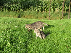 I guess they are on a mission (elisabeth.mcghee) Tags: kater cats getigert