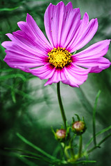 pink cosmos (yaz62) Tags: flowersplants august2016 cosmos