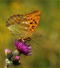 Male Silverwashed Fritillary - nectaring on thistles (glostopcat) Tags: silverwashedfritillarybutterfly butterfly insect invertebrate glos wildflower thistles coopershillwood cotswoldcommonsbeechwoodsaonb naturalengland