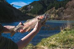 Rainbow Trout, Glenfalls Reserve, Mohaka River, SH5, Hawkes Bay (flyingkiwigirl) Tags: glenfalls reserve mohaka river sh5 hawkes bay rainbow trout