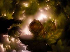 Autumn Swirled (i-r-paulus) Tags: bokeh bokehlicious swirlybokeh swirl helios442 reversed adaptedlens russianlens sovietlens helios58mm leaf autumn