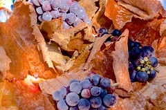Frost on the Ground (hectic skeptic - I've returned!) Tags: camarillo california markamorgan hybiscus grapes concordgrapes nude abstract