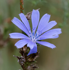 Beautiful Blue Wild Chicory (tresed47) Tags: 2016 201609sep 20160915chestercountymisc canon7d chestercounty chicory content extonpark flowers folder pennsylvania peterscamera petersphotos places takenby us