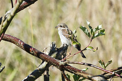 Red-backed Shrike (juvenile) (christopheradler) Tags: germany redbacked shrike lanius collurio juvenile