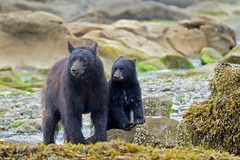 Red and her Cub (Blingsister) Tags: americanblackbear blackbear blackbears motherandcub motherblackbearandcub wildblackbear wildblackbears blingsister melanieleesonwildlifephotography canon7dmarkii canonef100400mmf4556lisiiusm