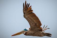 Pelican Beach (c_slavik) Tags: wildlife nature la jolla ca beach ocean animals pelican birds flight flying