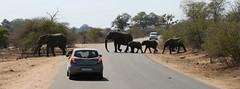 Big Five (Iam Marjon Bleeker) Tags: southafrica zuidafrika elephant safari bigfive krugerpark dag4krugerimg0793v