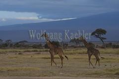 10076062 (wolfgangkaehler) Tags: 2016africa african eastafrica eastafrican kenya kenyan amboseli amboselikenya amboselinatlparkkenya amboselinationalpark wildlife mammal giraffe giraffes giraffacamelopardalistippelskirchi