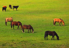 Horses and cows (Rknebel) Tags: horse cavalocrioulo