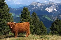 Maurerberg Wanderung (2) - Sdtirol (okrakaro) Tags: cow rind maurerberg wanderung sdtirol dolomiten italien hiking sanktmartininthurn gadertal pustertal mountains nature landscape natur september 2016