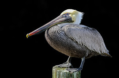 Our State Bird........ (Cajun Snapper) Tags: louisianastatebird pelicanstate louisianabrownpelican pelican pelicanusoccidentalis blackintheback digitallouisiana pouch webbedfeet naturallight handheld coastallouisiana coastalbird southernliving southlouisiana downdabayou cajuncountry