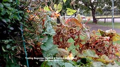 Trailing Begonias (Apricot & Salmon pink) dying 13th October 2016 013 (D@viD_2.011) Tags: trailing begonias apricot salmon pink dying 13th october 2016