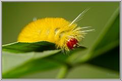 Larva - Caterpillar (J. Amorin) Tags: larvas mariposasypolillas macuspana tabascomexico larva gusano caterpillar polilla moth mariposasdemexico mariposasdetabasco macro amorin canon10028macro canon7d