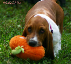 The great pumpkin (EllieMaeDogBoutique) Tags: basset hound puppy dog cute animal fall pumpkin toy