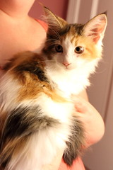 You Must Be Eyebrow Whiskers (interchangeableparts) Tags: pirlobabycat mainecoonkitten tuttifrutti candycorn