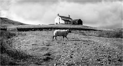Harwood . (wayman2011) Tags: canon50d lightroom wayman2011 bwlandscapes mono farms sheep pennines dales teesdale harwood countydurham uk