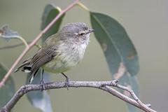 Weebill 2016-08-27 (60D_3022) (ajhaysom) Tags: weebill smicrornisbrevirostris woodlandshistoricpark greenvale melbourne australia australianbirds canoneos60d sigma150600