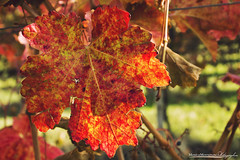 Foliage (montanari_monica) Tags: foliage uva vendemmia vineyards autumn autunno colours colorful grapes harvest