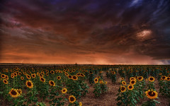 Sunflower Storm (Mr. Jason Hayes) Tags: sunflowers sunflower storm denver hdr jasonhayes awesome lightning