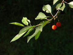 Ciliegie, cherries, cherises (giorgiorodano46) Tags: giugno2008 june 2008 giorgiorodano bagnaia lazio italy tuscia ciliegie bokeh red rosso rouge frutti fruttidistagione visciole cherries cerises