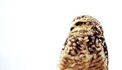 Burrowing owl (Nils van Rooijen) Tags: burrowing owl animal bird face eye watching nature burgers zoo portrait