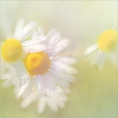 Sunny eyes on you. (BirgittaSjostedt) Tags: tripleurospermuminodorum flower plant wild soft highkey bright texture falsechamomile macro birgittasjostedt pastel magicunicornverybest