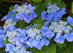 Blue Hydrangea (jackiebishop2005) Tags: blue hydrangea flower clyne gardens swansea south wales