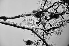 Kenia Tree (jhderojas) Tags: kenia tree blackandwhite