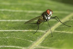 IMG_7861-2 (Jamil-Akhtar) Tags: canon6d canonmpe65mmf28 nature macro insect fly islamabad pakistan