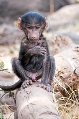 Showing off (PhilHydePhotos) Tags: africa crater ngorongoro safari tanzania baboon monkey