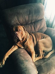 This is my chair dad! (Hulkyswolls) Tags: flickr camera iphone love pup mastiff french doguedebordeaux dogs