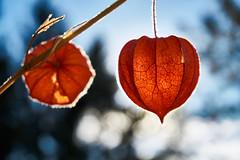 (_Callisto_) Tags: licht light leuchten lantern lampion flower herbst autumn fall sony a6000 natur nature selp1650