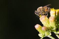 Jaune et noir (Florian Commaret) Tags: bug bugs bee beautiful abeille spring printemps soleil sun summer macro miniature insecte ins insect nature jaune yellow green vert t fleur flower