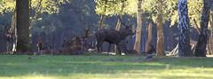 IMG_4774 (minions) Tags: rambouillet 2016 parc animaux cervids