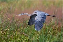 Great Blue Heron Flying Over Marsh (Daniel Cadieux) Tags: heron greatblueheron flight fly flying wings marsh pond river reeds ottawa
