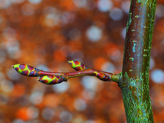 Buds in a row (Robert Anscombe) Tags: macromondays inarow buds macro