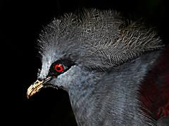 DSCN0063 Common Crowned pigeon (tsuping.liu) Tags: outdoor organicpatttern blackbackground birds nature natureselegantshots naturesfinest animal photoborder perspective pattern ecology