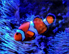 I found Nemo (AngelVibePhotography) Tags: orange clownfish animal macro colorful nikon nikonp900 fish blue aquarium closeup