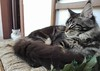 Maine coon kitten on the chair (romeosilverpersian) Tags: mainecoon mainecooncat mainecoonkitten kitten kittens cats cat catbreeds catphotos gatto gatti pet pets animalidomestici animale browntabby tabby chair persiancats